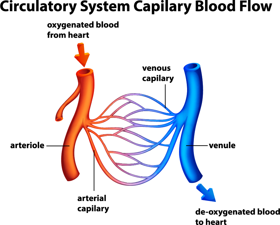 Circulatory System Capilary Blood Flow Blood Clots